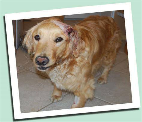 golden retriever rescue league the golden retriever his shocking and amazing rescue colorado animal