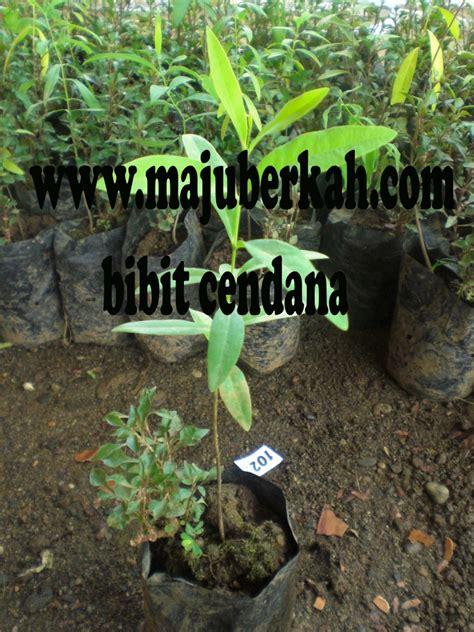 Jual Bibit Kayu Cendana bibit cendana bibit tanaman cendana jual bibit tanaman