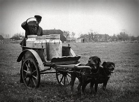 rottweiler pulling competition 184 best images about carting on schnauzer photo postcards and