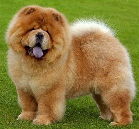 characteristics of dogs chow chow information characteristics traits facts
