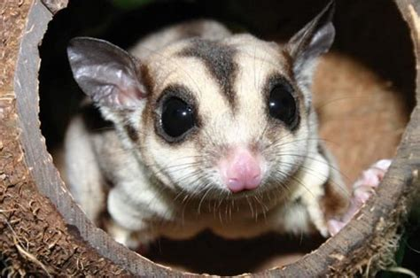 how long do sugar gliders live lifespan of a sugarglider