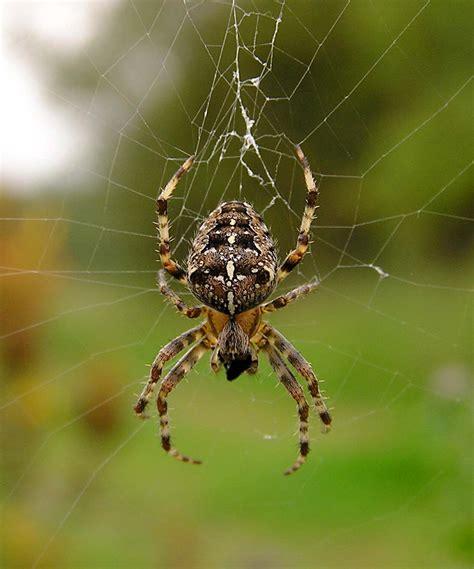 Garden Spider Garden Spider Araneus Diadematus Naturespot