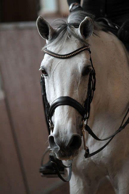 Donna Silver warmblood mare donna silver mio cavalli