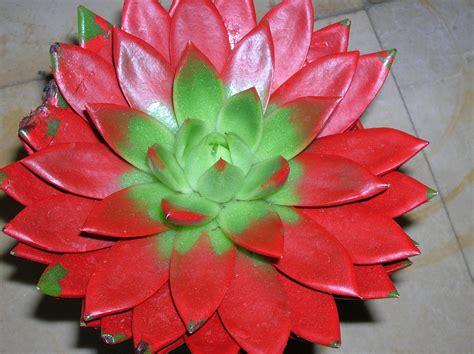 pianta grassa fiori pianta grassa foto immagini piante fiori e funghi