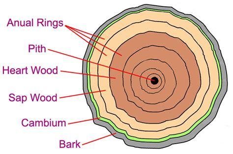 tree cross section diagram cross section of a tree trunk a gardener s dictionary