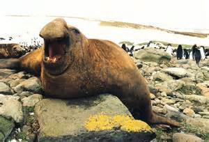 30 amazing and interesting facts about elephant seals