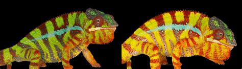 chameleon color change the secrets of color changing chameleons revealed la times