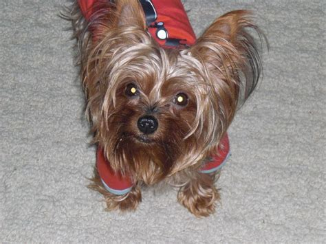 crates for yorkies 97 best images about terrier dogs on northern white