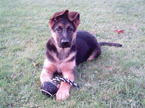 free german shepherd puppy file bessie the german shepherd puppy 2006 jpg
