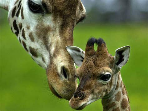 imagenes jirafas tiernas jirafas tiernas imagui