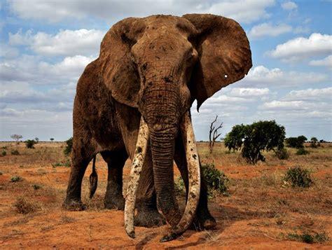 google images elephant google lat long elephants in peril