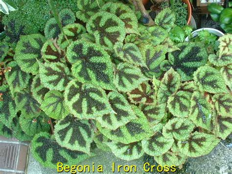 Tanaman Begonia Iron Cross photo begonia masoniana iron cross begonias album