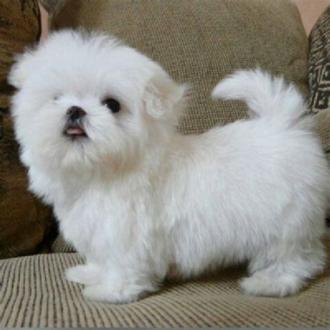 when are puppies fully grown teacup maltese puppies puppys and teacup maltese on