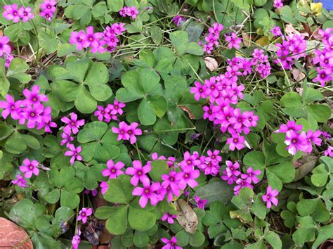 a clover with pretty pink flowers