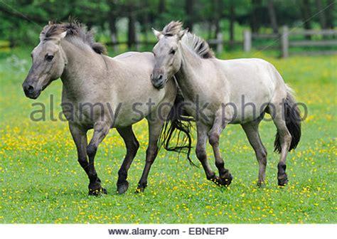 tarpan (equus ferus gmelini, equus gmelini), back breeding