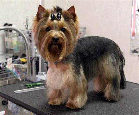 haircuts for female yorkies top 35 latest yorkie haircuts pictures yorkshire terrier