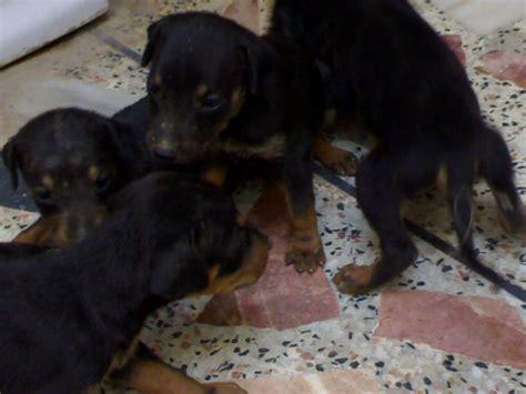 cheap doberman puppies for sale pets pakistan cheap doberman pair for sale
