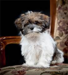 How To Make House Plans Shorkie Puppies For Sale Usa And Canda Shorkieworld Com