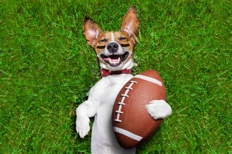 puppy football keeping dogs safe on football sunday keep the wagging