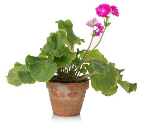 piante da appartamento con fiore pianta da appartamento con il fiore rosa su un fondo
