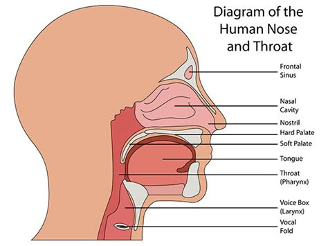 diagram of throat throat diagram diagram site