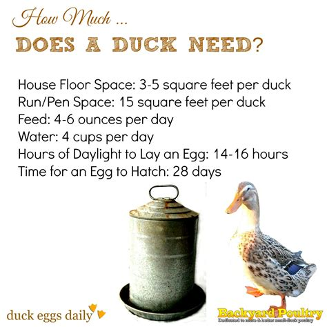 how much room does a chicken need how much space feed water light does a duck need fresh eggs daily 174 emergency