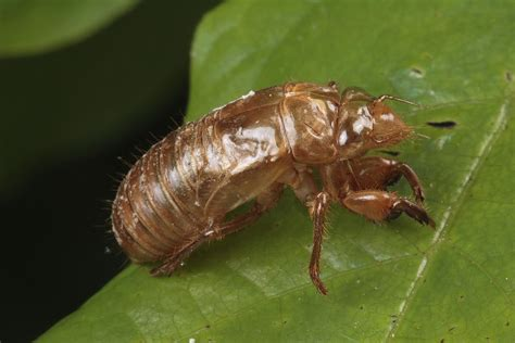 Animal Shower Curtain A Periodical Cicada Exoskeleton Photograph By George Grall