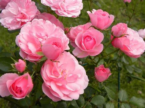 fiore rosa rosa fiore il fiore della rosa