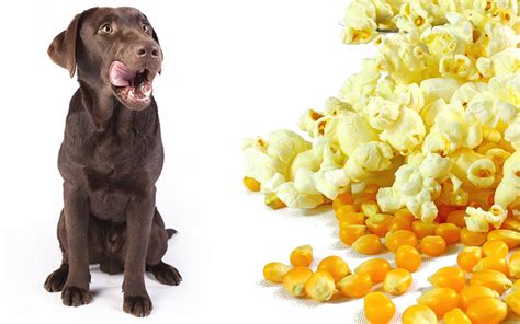 popcorn for dogs can dogs eat popcorn what types and how much is safe