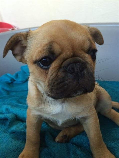 pug cross boston terrier pug cross frenchie boston terrier barrow in furness cumbria pets4homes