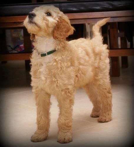 irish setter poodle mix our new puppy an irish doodle cross between an irish
