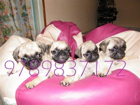 pug puppies for sale price pug puppies for sale dogspuppies 1 8635 dogs for sale price of puppies dogspot in