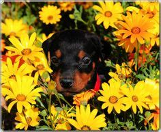 doberman puppies for sale mn 1000 ideas about doberman puppies for sale on dobermans doberman puppies