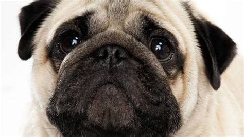 ancient pug the pug is one of the oldest breeds in the world ancient documents state