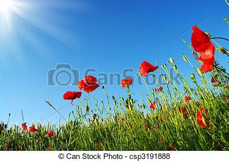 pictures of bright red poppies in sunny day csp3191888