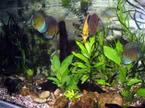 discus aquarium fish care breeding forum everything for happy discus
