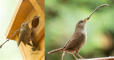 location location location house wren nesting habits