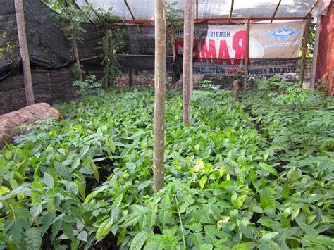Bibit Coklat jorenta farm roni depari menjual bibit coklat unggul harga rp 2 500 batang lokasi kutacane