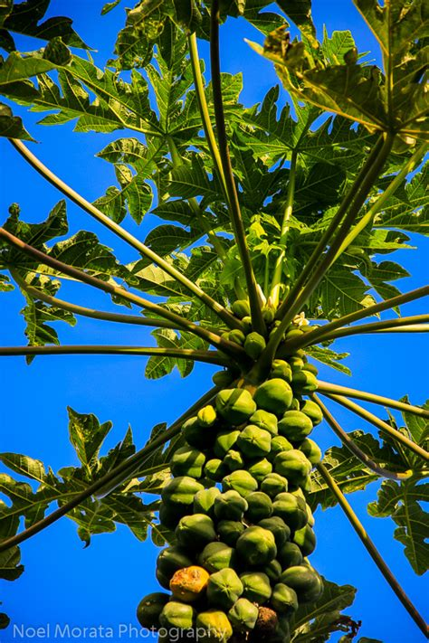 fruit trees hawaii tropical fruit from hawaii