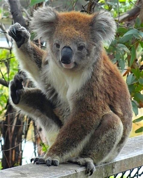 Very Beautiful In French koala a photo from victoria east trekearth