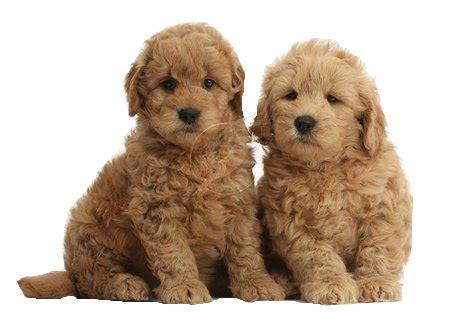 hilltop golden retrievers goldendoodle puppies