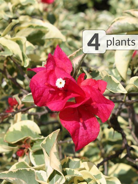 Raspberry Colorful 4 colorful bougainvillea raspberry plants kens nursery