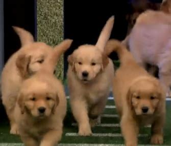 jimmy fallon puppies pet scoop puppies predict nfl kickoff similarities found between bats and dolphins
