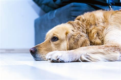 golden retriever dog house free stock photo of dog golden retriever home