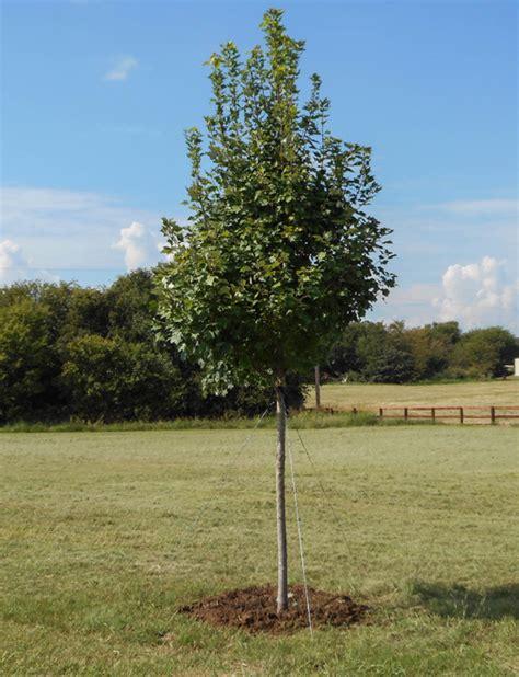 brandywine maple tree dallas treeland nursery