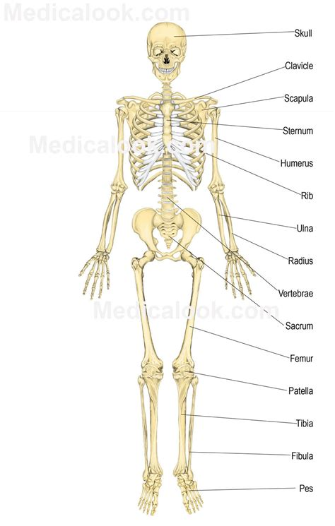 skeletal diagram organ skeletal system human anatomy skeletal