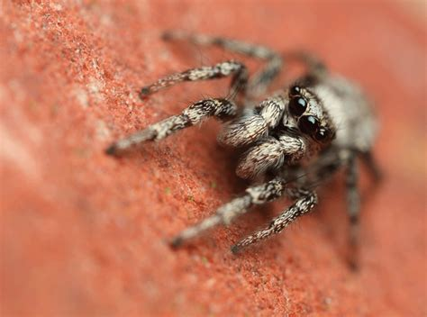 jumping house spiders jumping spider on the house wall animation see opriginal s flickr