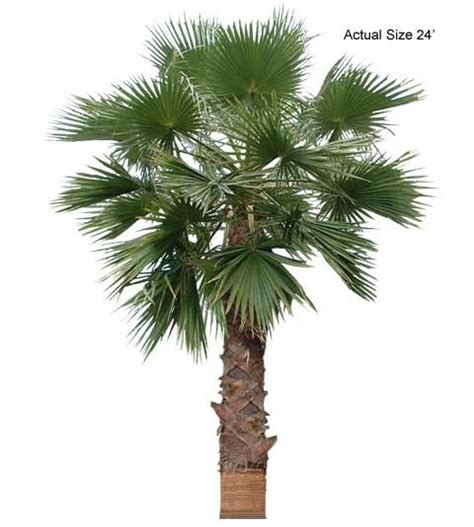 California Fan Palm Washingtonia Filifera