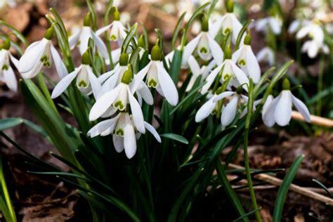 wann stauden umpflanzen schneegl 246 ckchen 187 pflanzen pflegen schneiden und mehr