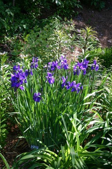 siberian iris dividing walter reeves the georgia gardener